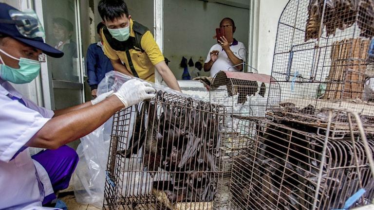 Hälsoinspektörer undersöker fladdermöss som beslagtagits på en marknad i Indonesien.
