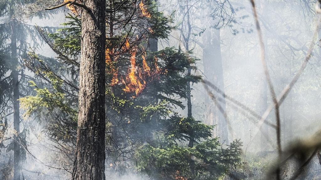 En bild på en gran som brinner.
