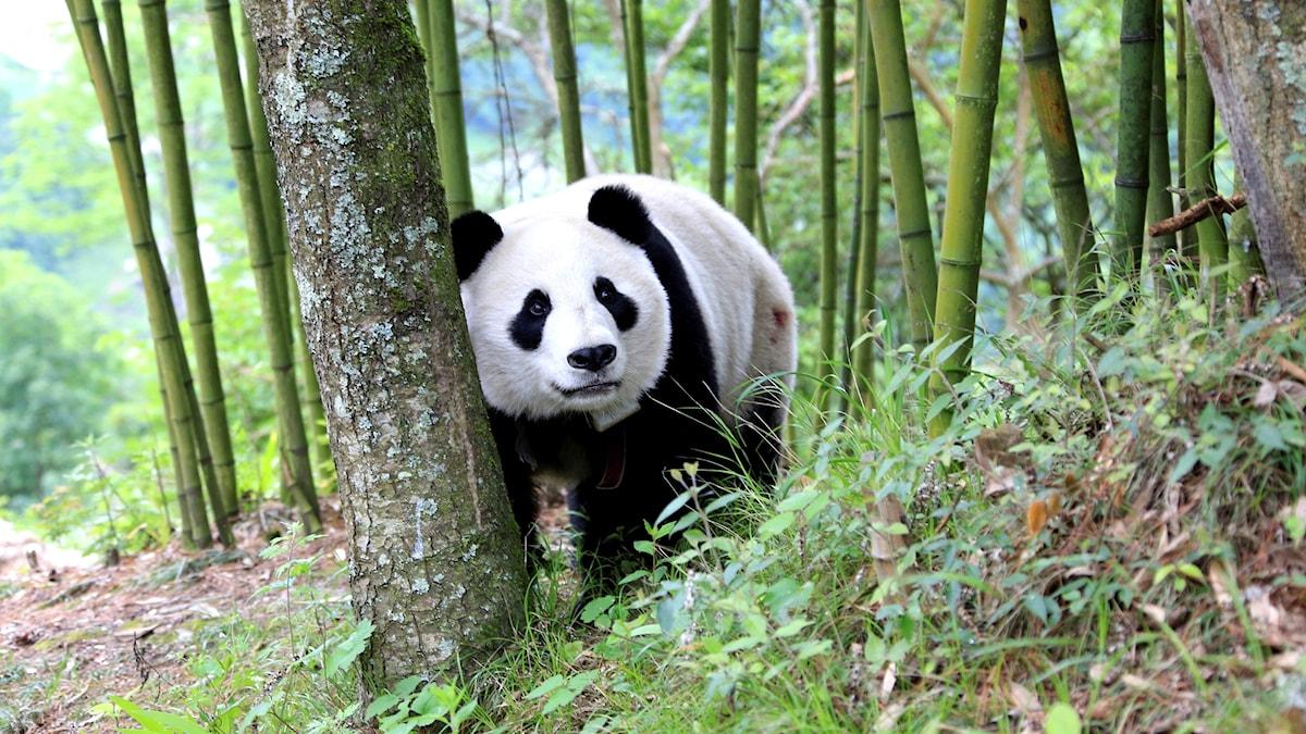 Panda i skog