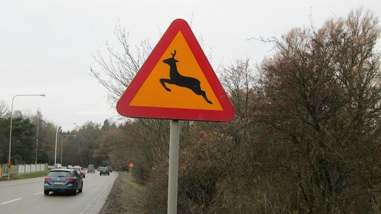 Viltskylt som varnar för rådjur vid väg. Foto: Peter Weyde, Sveriges Radio