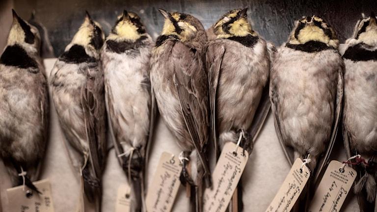 Uppstoppade fåglar på Naturhistoriska riksmueet. Fåglarna har inget med artikeln att göra.