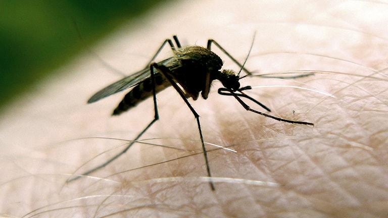 Denguefebern sprids av myggor. Foto: Johan Nilsson/Scanpix