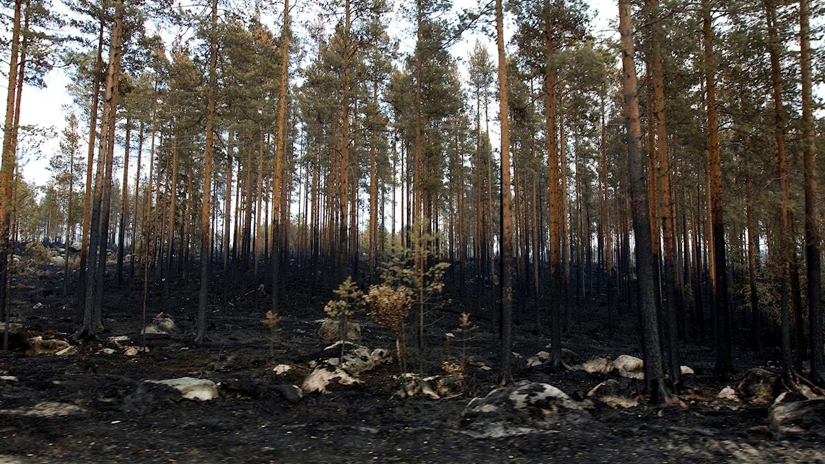 Brand skogsbrand kårböle