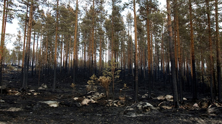 The effects of one of the largest forest fires in Kårböle.