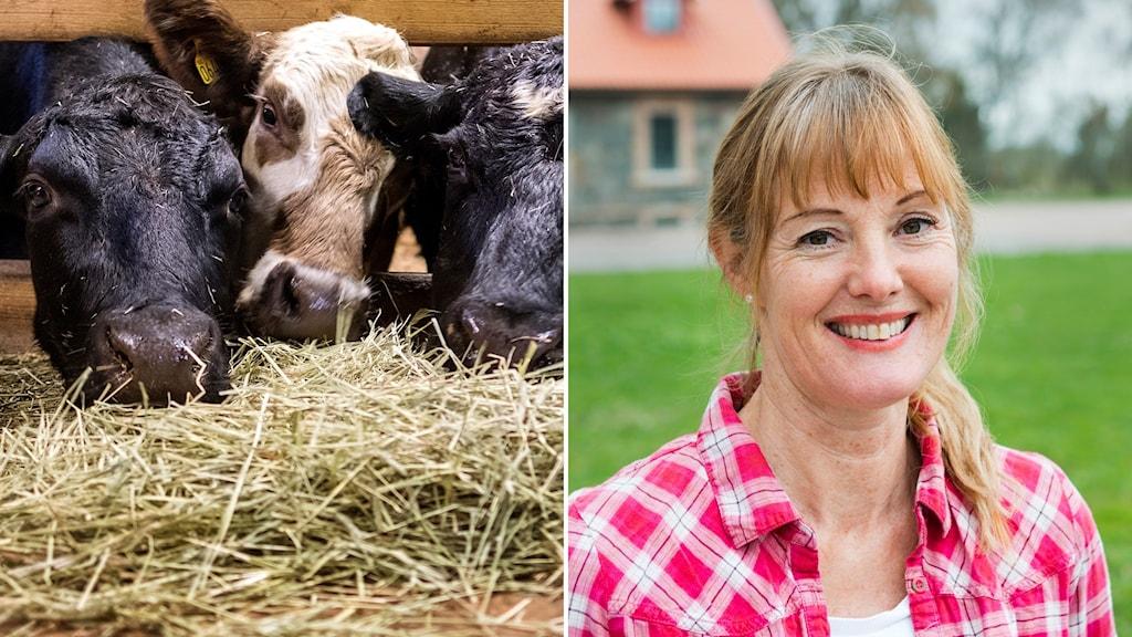 Kalvar som äter hö/LRF Skånes vice ordförande Maria Hofvendal Svensson