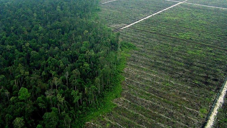 Regnskog som huggits ned ill förmån för oljepalmplanering. Foto: Chedar Anderson/Scanpix.