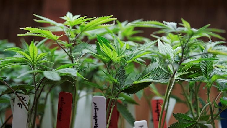 Cannabisplantor.