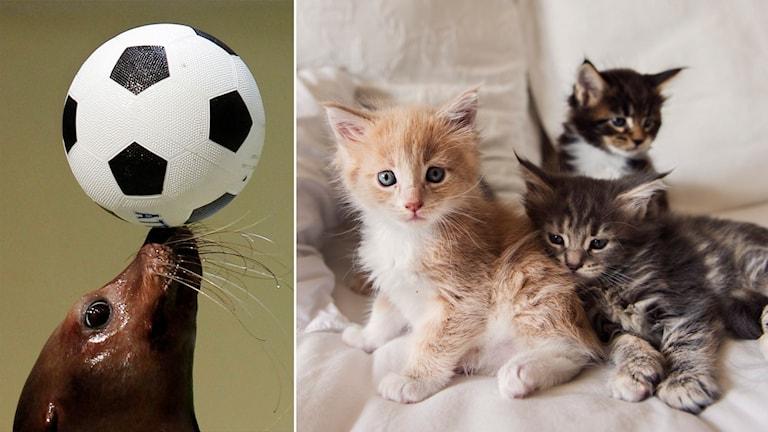 Delad bild: ett sjölejon balanserar en boll, tre kattungar på en säng.