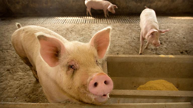Gris på en farm i Kina. Nu skärps kontrollerna av att förbudet mot att importera kinesiskt kött till Sverige följs.