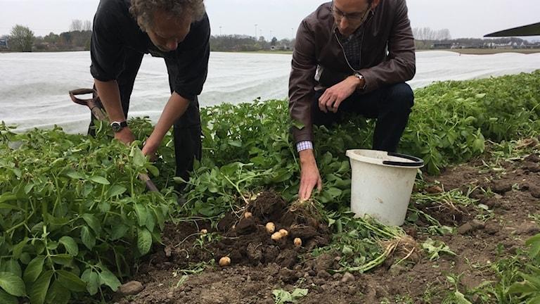 Två män tar upp potatis.