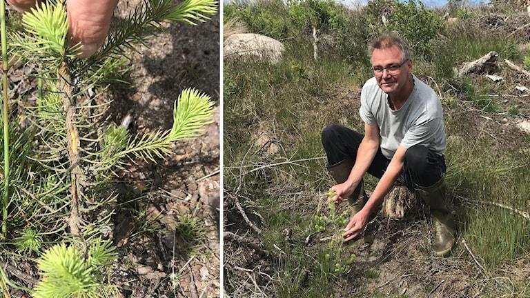 Skogsägaren Stefan Tagesson i Markaryd har drabbats av omfattande snytbaggeskador.