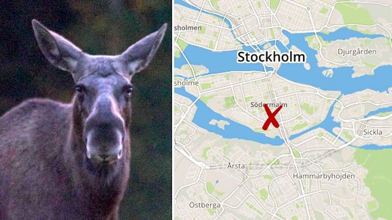 älgen i stockholm