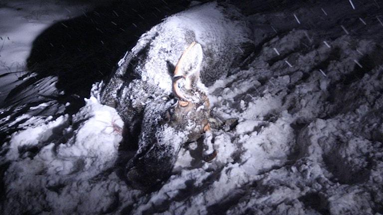 En älg omkom och en busschaufför skadades vid en trafikolycka på E4:an i höjd med Bjästa söder om Örnsköldsvik tidigare i början av december.