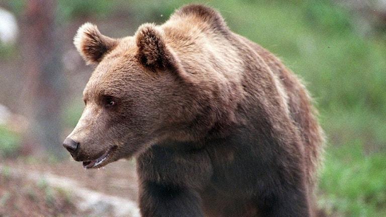 En björn i en skog