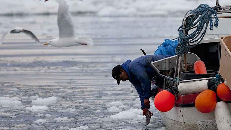 En grönländsk fiskare drar upp fisk från havet som är fyllt av isflak från ett isberg. Foto: Brennan Linsley/Scanpix.