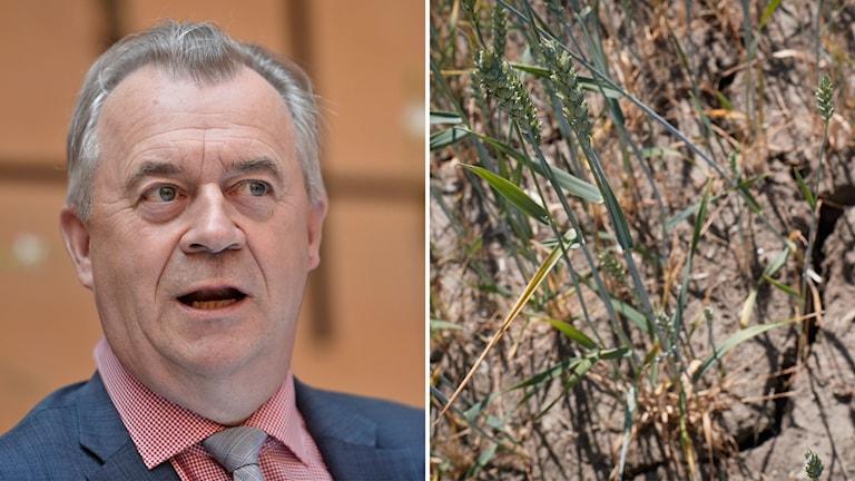 Bilder på landsbygdsminister Sven-Erik Bucht samt bild på en gles spannmålsskörd.