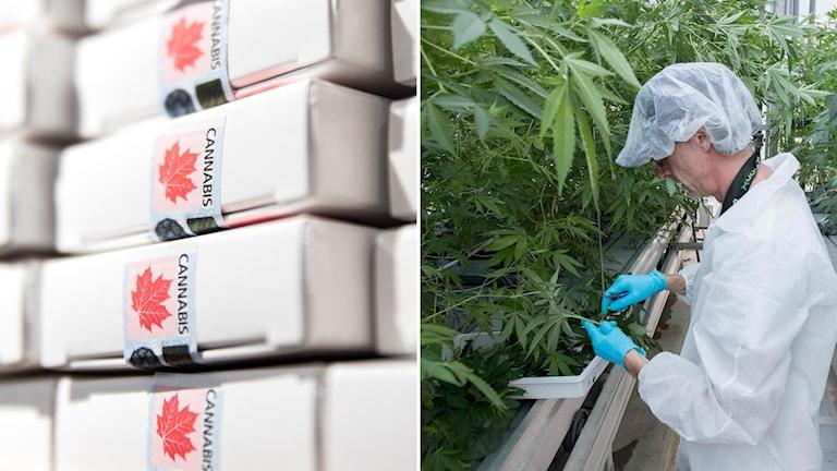 En person på en kanadensisk cannabisodling kollar skörden.