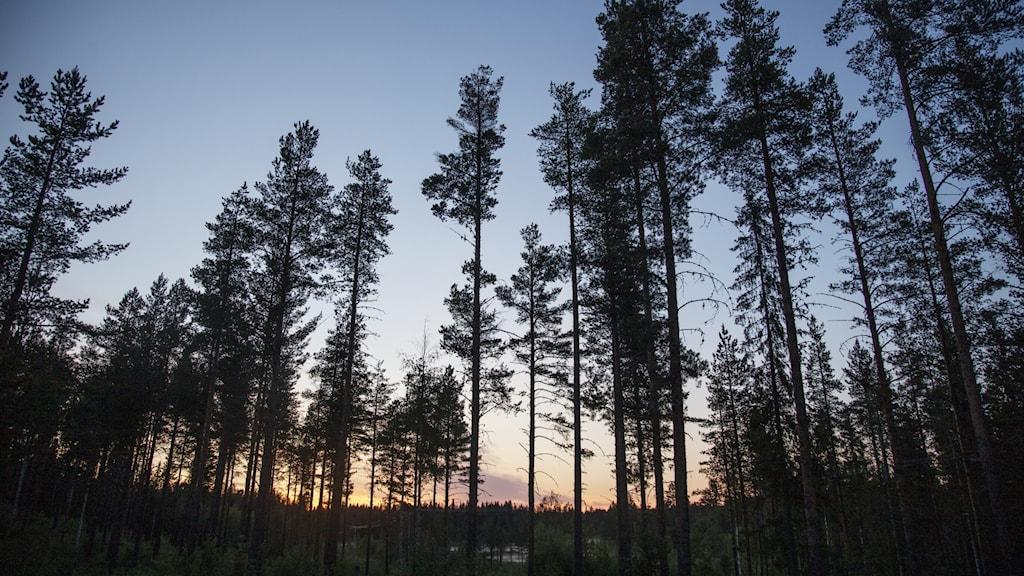 Tallar i midnattssol i Norrbotten.