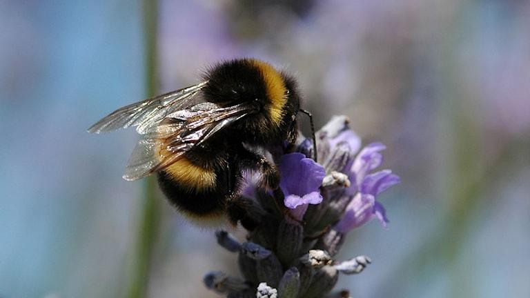 Humla pollinerar en blomma. Foto: David Goulson/Scanpix.