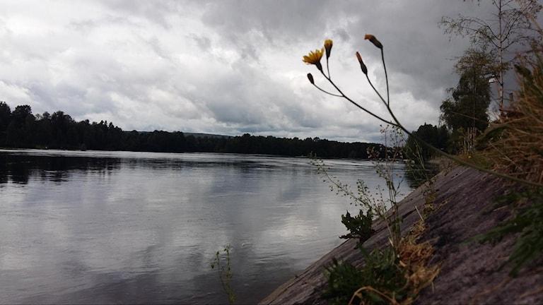 Skellefteälven. Foto: Linnea Hedelilja