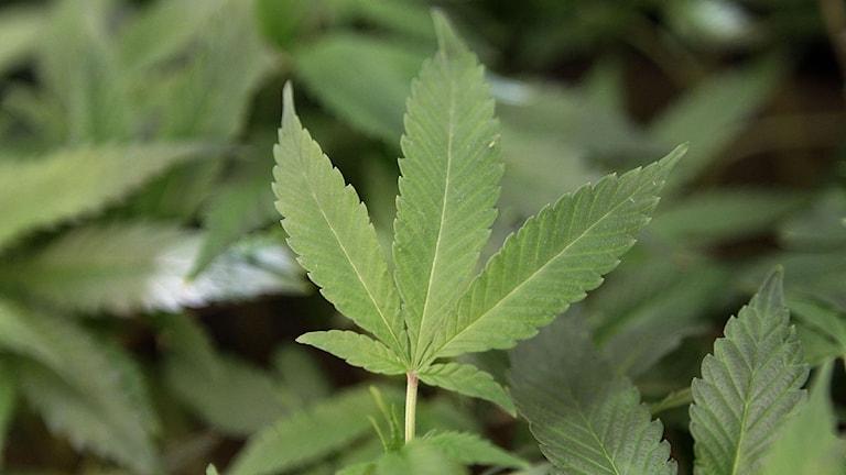 Marijuana kan bli legalt i Uruguay. Foto: Jeff Chiu/Scanpix.