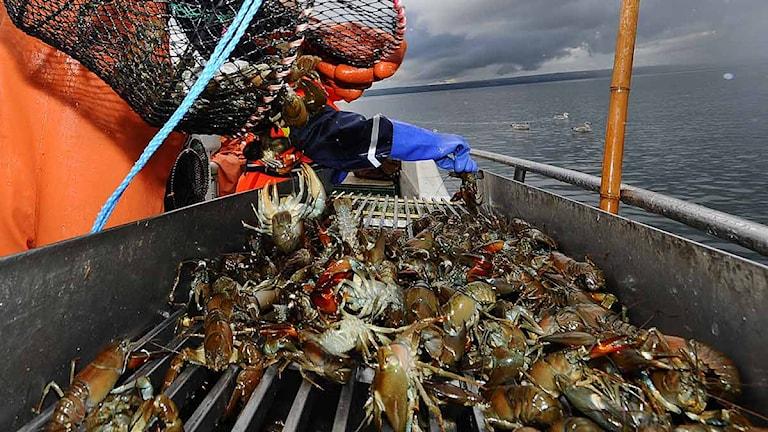 Fiskare drar upp kräftor. Arkivfoto: Mikael Fritzon/Scanpix.