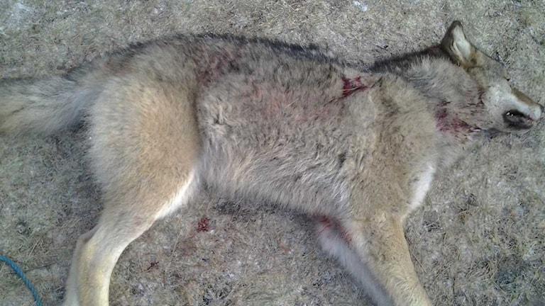 den första vargen i jakten 2013 sköts i Hedbyreviret i Örebro län. Foto: Kjell Johansson / Länsstyrelse/Scanpix