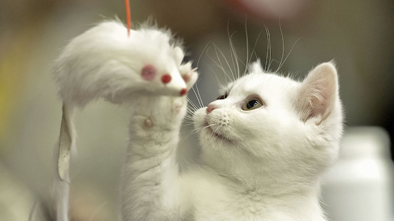 En vit kattunge leker med en leksaksmus i snöre. Foto: Vadim Ghirda/Scanpix