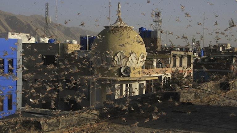 gräshoppor flyger framför byggnad i Pakistan