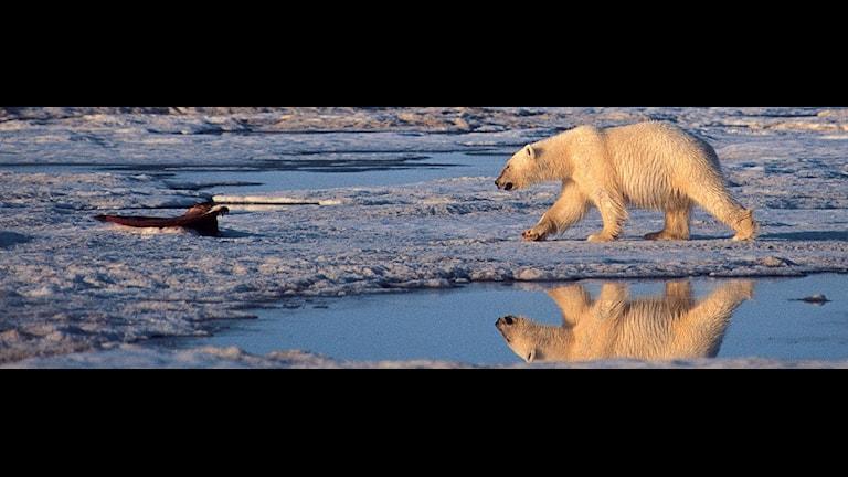 Det smältande istäcket i Arktis drabbar isbjörnarna hårt. Foto: Subhankar Banerjee/Scanpix.