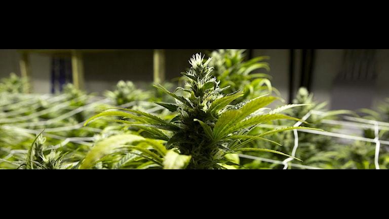 Cannabisplanta som är klar för skörd. Foto: Ed Andrieski/Scanpix.