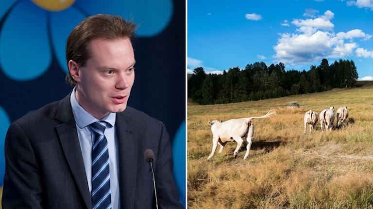 SD:s Martin Kinnunen och en torr betesåker.