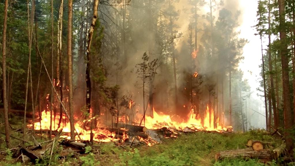Brand i skog