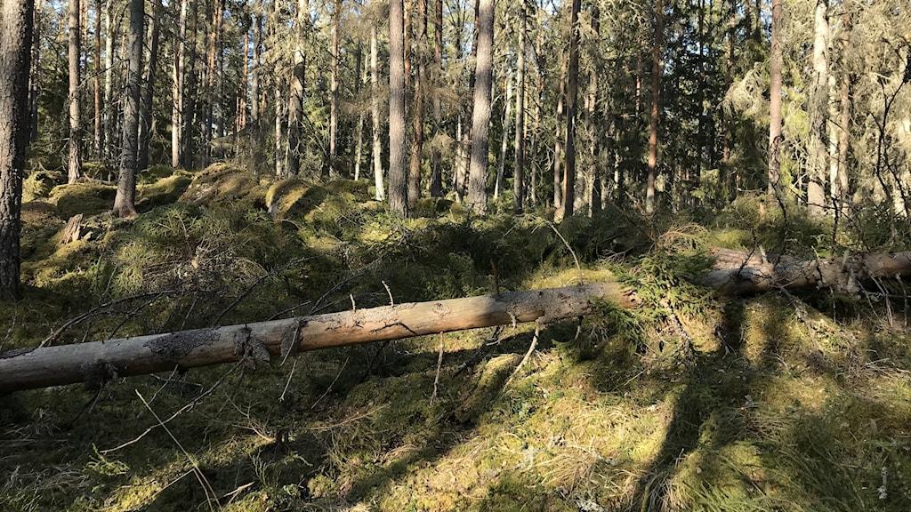 Skog med många levande träd och ett dött fallet träd i dagsljus.