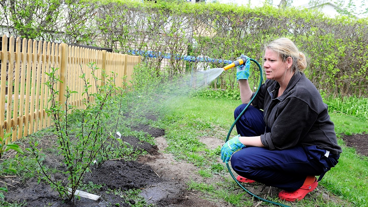 Kvinna vattnar plantor.