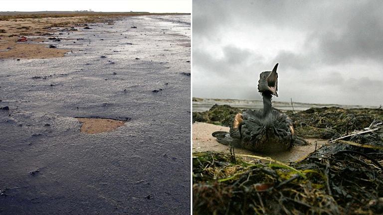 Oljeutsläpp vid Svarta havet, oljeskadad fågel.