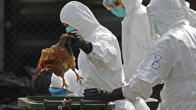 Tusentals kycklingar nödslaktas i Hongkong. Foto: Vincent Yu/Scanpix.