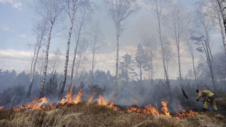En gräsbrand härjar i en skog i västsverige förra våren. Foto: Adam Ihse/TT.