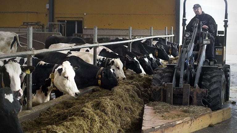 En mjölkbonde i ladugården. Foto: Björn Larsson Rosvall/TT.