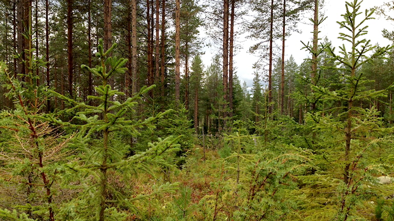 SLU:s rutiga försöksskog i Vindeln. Foto: Nils Eklund / Sveriges Radio