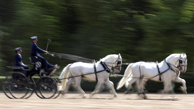 Fyrspann av kladruberhästar drar en vagn