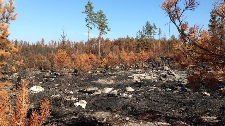 Bränd skogsmark. Foto: Annika Digreus/Sverige Radio.
