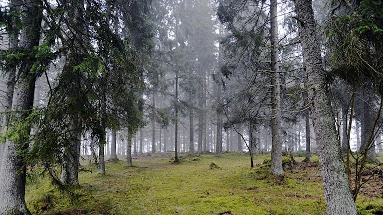 Granskog i dimma. Foto Hasse Holmberg/TT.