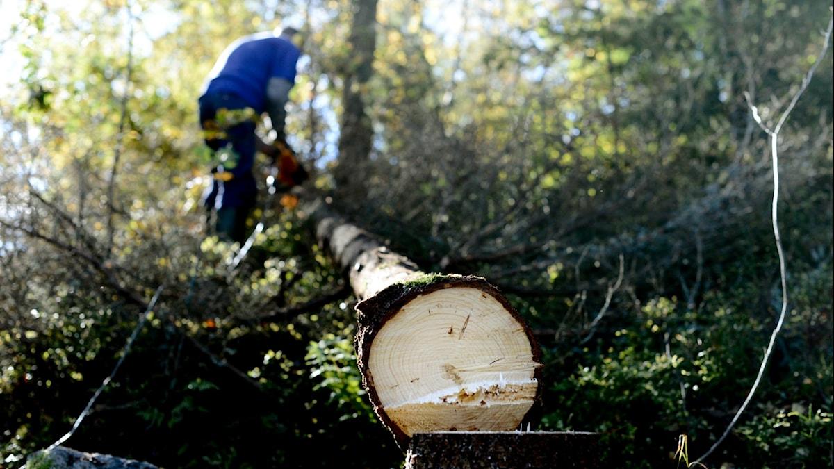Skogsbrukare kapar ett liggande träd med motorsåg.