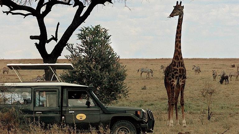 Naturreservatet Serengeti i Tanzania. Foto: TT