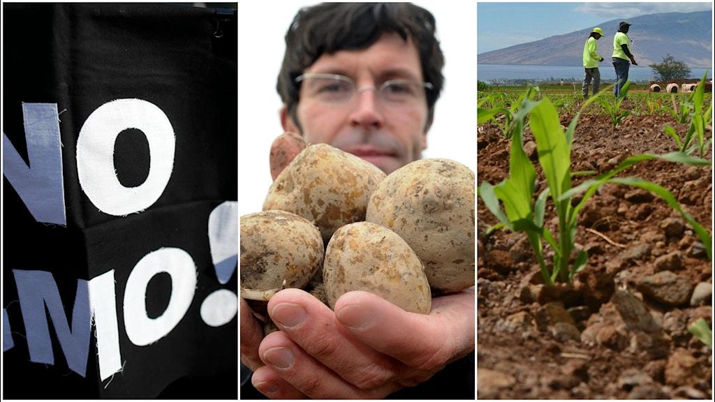 En man håller upp händerna fulla med genmodifierade potatisar.