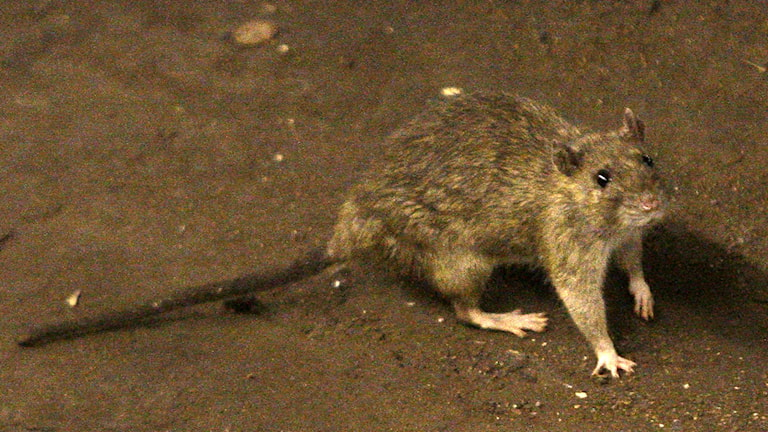 Råtta, som kan sprida pestsmitta. Foto: Frank Franklin/TT.