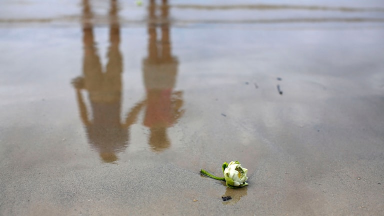 Vit ros på strandkanten i Khao Lak. Foto: TT.