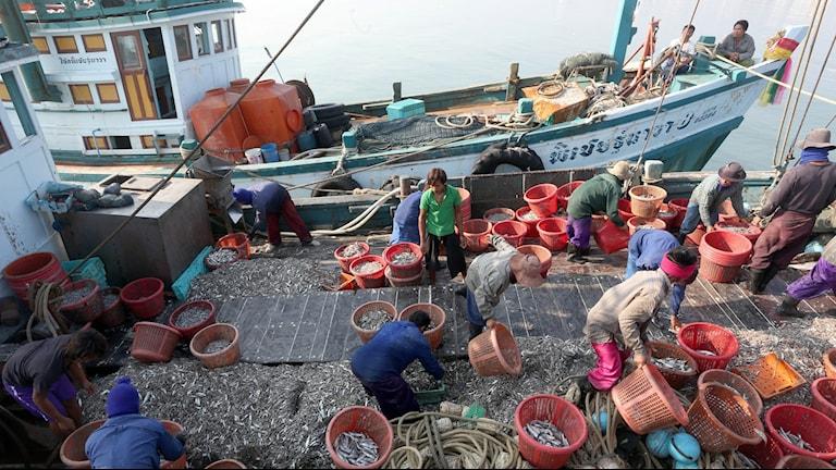 Fångar i Thailands fiskeindustri