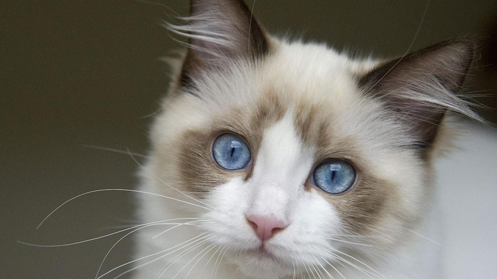 En liten ragdoll med klarblå ögon stirrar upp och in i kameran.